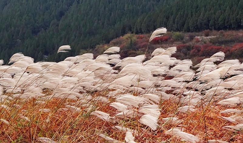 济南龙洞风 之 荻花风景图片