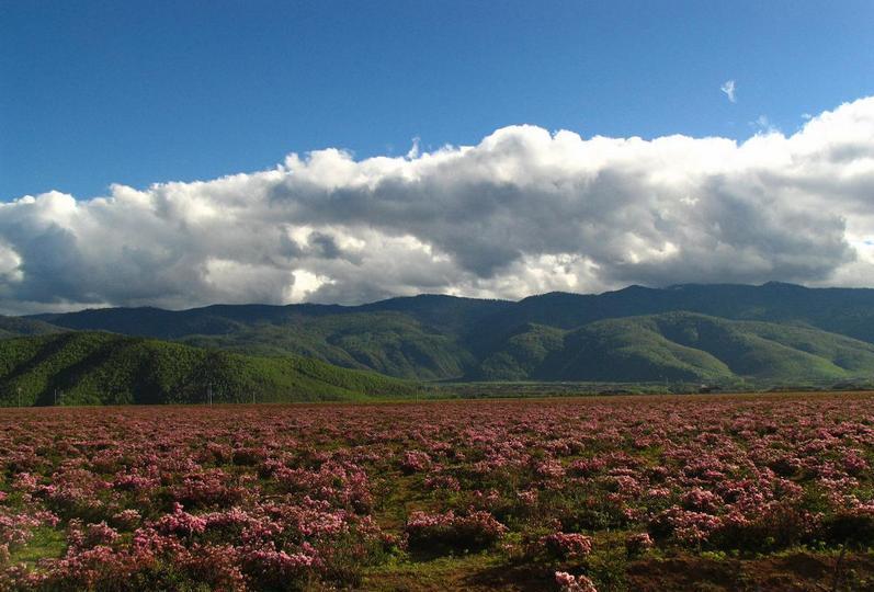 白马雪山高山杜鹃林景点图片
