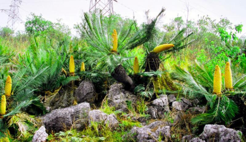 攀枝花苏铁国家级自然保护区