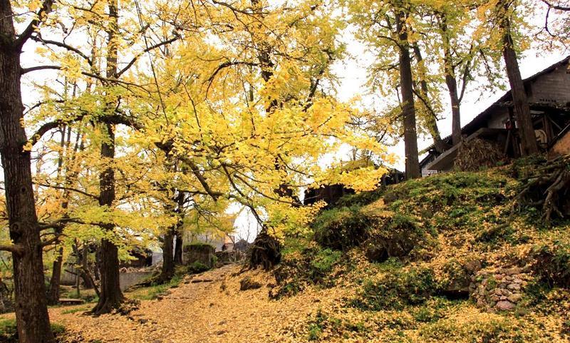 盘县古银杏风景点图片