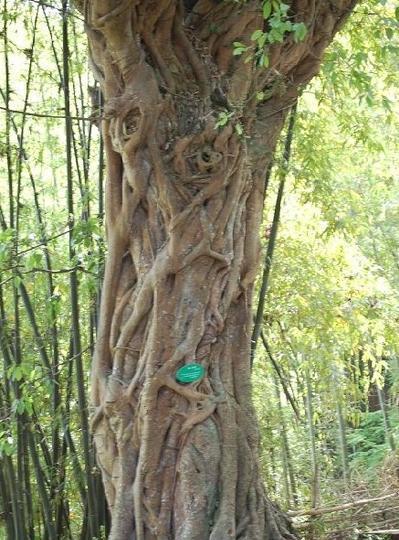 朱德故里琳琅山 之 黄角树风景图片