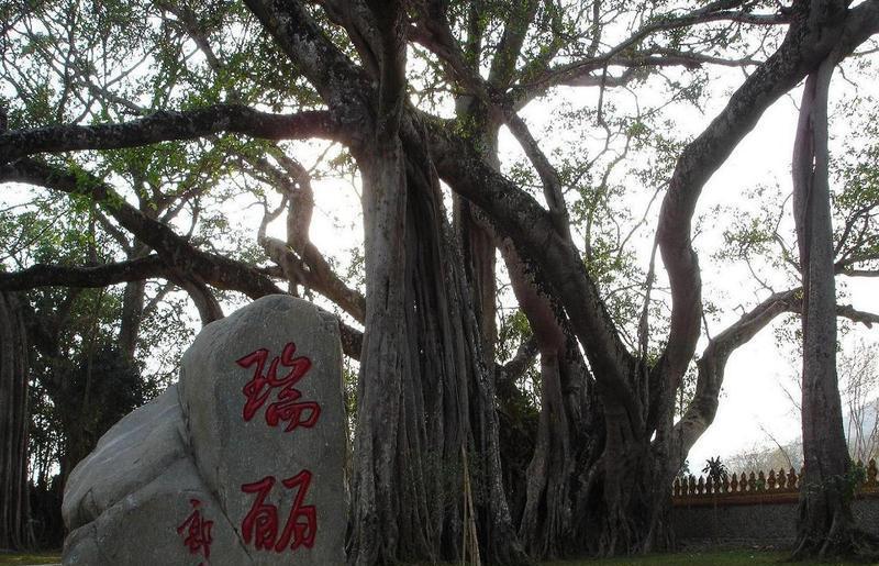 瑞丽独树成林风景点图片